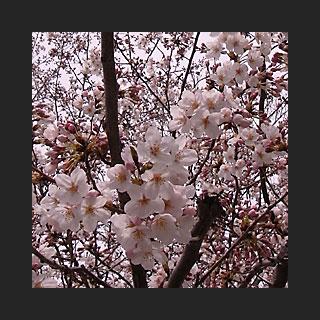 090404_Sakura.jpg